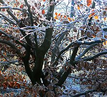 FrostyTree, Roslin Glen, Nr Edinburgh, Scotland, UK by sallysparkle