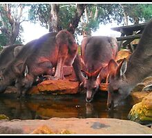 FIVE Tasmanian Kangaroos drinking by kimathy