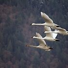 Trumpeter Swans by Tracy Friesen