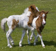Horseplay (Shetland Ponies) by Krys Bailey