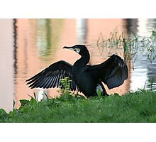 Grand Canal Cormorant Photographic Print