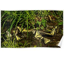 Tiger Swallowtail Butterflies Meeting Place Poster