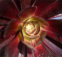 Aeonium arboreum var. atropurpureum by Antonio Jose Pizarro Mendez