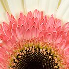 Gerbera by Malcolm Garth