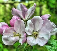 Apple blossoms by Annika Strömgren