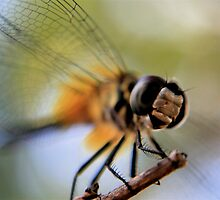 Dragonfly in High Key by Terry Arcia