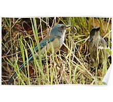 Scrub Jay - Mating Pair Poster