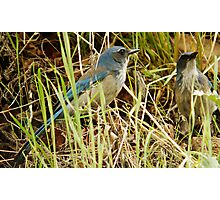 Scrub Jay - Mating Pair Photographic Print