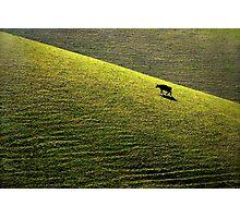 Bovine Feast Photographic Print