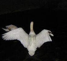 Swan Spreading her wings by LeslieSweets
