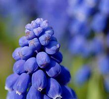 Grape Hyacinth by Tom Harrington