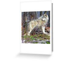 Timber Wolf on the Alert Greeting Card