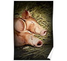 Perfectly Peaceful Piglets Poster