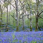 Bluebells - Carstramon Wood by acespace