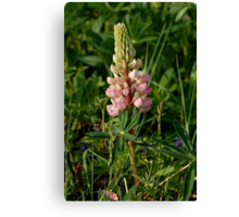 pink lupin Canvas Print
