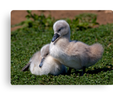 Ugly Ducklings? Canvas Print