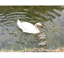 Swan and babies Photographic Print