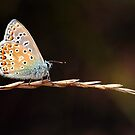 Small Blue by Scorpion9