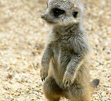 Baby Meerkat by Aussiebluey