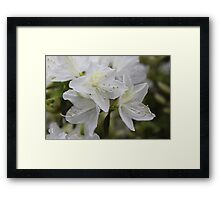 Pretty white azalea (rhododendron) flower photography Framed Print