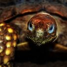 Spur-Thighed Tortoise by Creative Captures