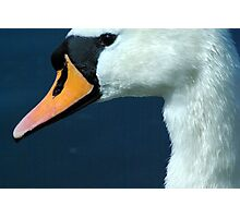 Swan 't' to see some more.. Photographic Print