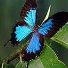 Ulysses Butterfly by JulieM