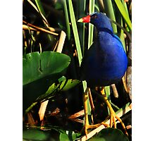 Purple Gallinule Photographic Print
