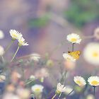 Skipper Amongst The Daisies by Nicole Bechaz