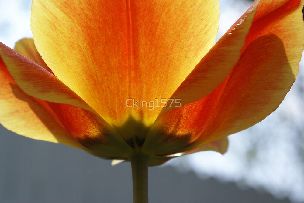 Fabulous Tulip by Christine King