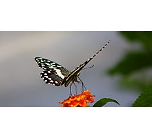 Lime swallowtail (Butterfly) Photographic Print