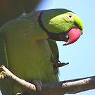 Ring-necked parakeet  (Psittacula krameri) by jdmphotography