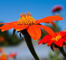 Mexican Sunflower 2 by Megan Campbell