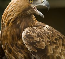 Golden Eagle by Ron Hindhaugh