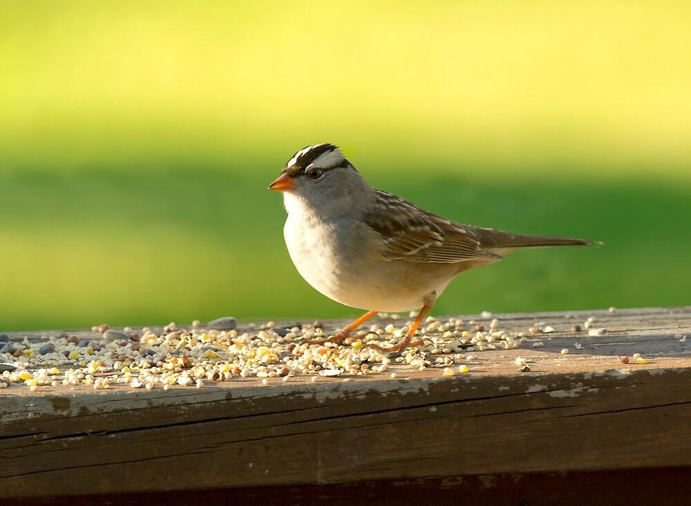 White Crowned Sparrow by Michael Wolf
