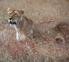 Lion in the Grass, Maasai Mara, Kenya  by Carole-Anne