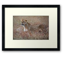 Lion in the Grass, Maasai Mara, Kenya  Framed Print
