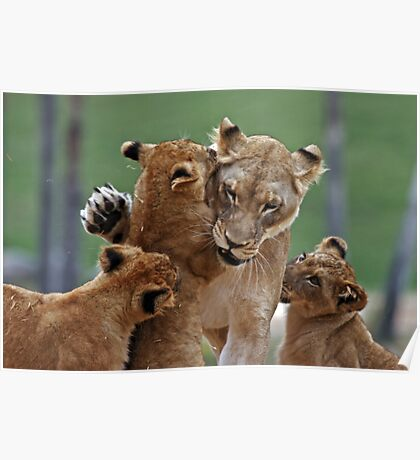 Playful Lions Poster