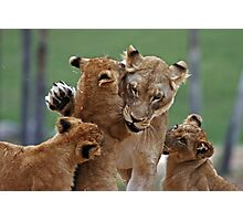 Playful Lions Photographic Print