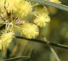 Flinders Ranges Wattle by Leanne Davis