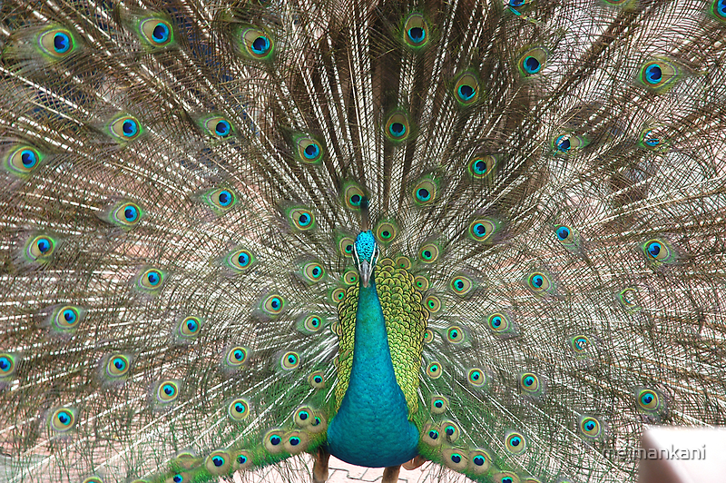 As proud as a peacock by Mahjabeen Mankani