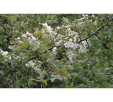 May Blossom Bower Photographic Print