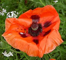 Bedraggled Poppy by Roy McPherson