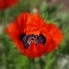 RED POPPY by SharonAHenson