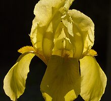 Rhapsody in Yellow by Andrew Leighton