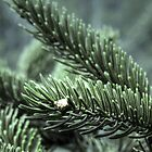 Pines by Angie Fouquette