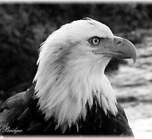 Black & White Eagle Bust by Gail Bridger