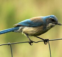 Western Scrub Jay by Ryan Houston