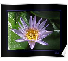 Lavender Water Lily Poster