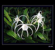 Spider Lily by Keith Richardson